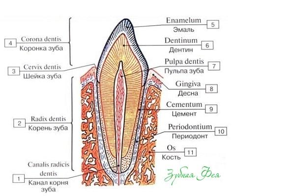 как устроены зубы